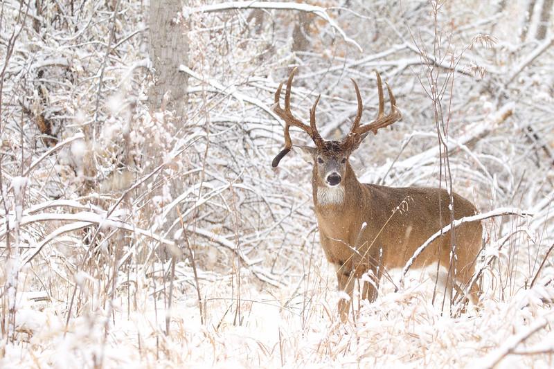 Winter Whitetail