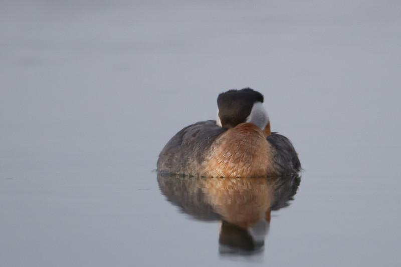 Red-necked Grebe - Wasilla, AK, USA
