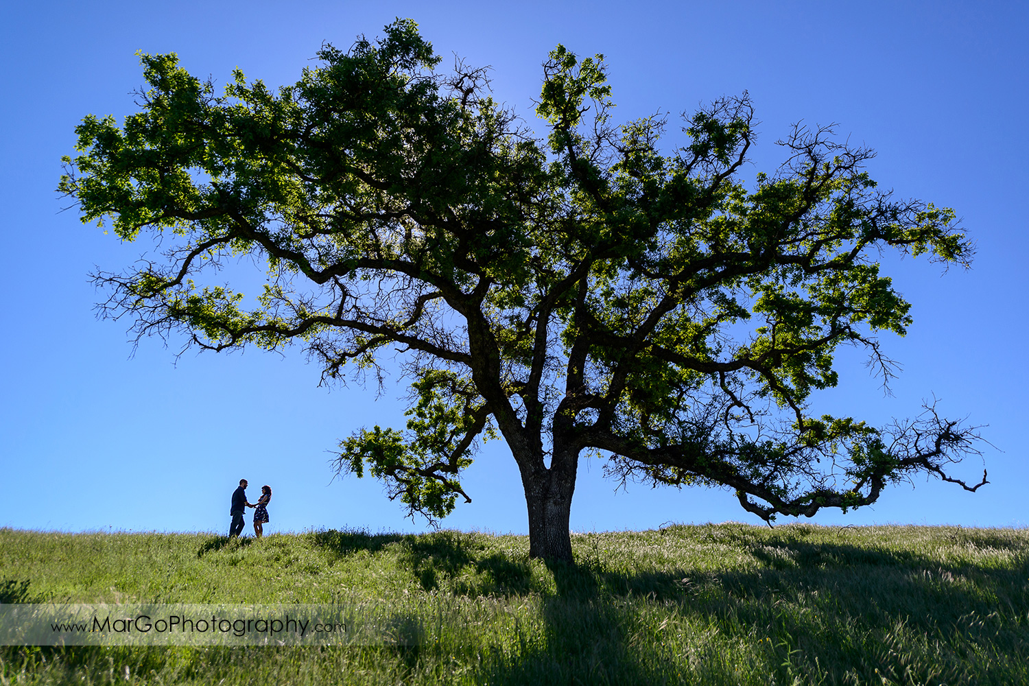 silhouette of couple holding hands under big oak tree during engagement session at Sunol Regional Wilderness