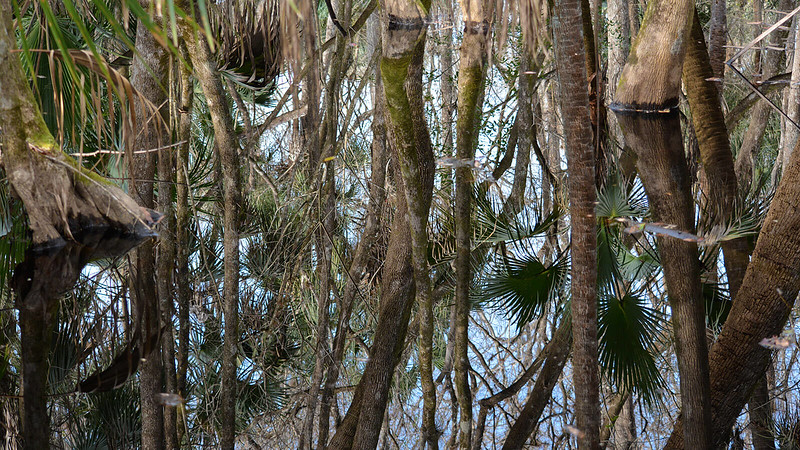 Tree reflections in swamp