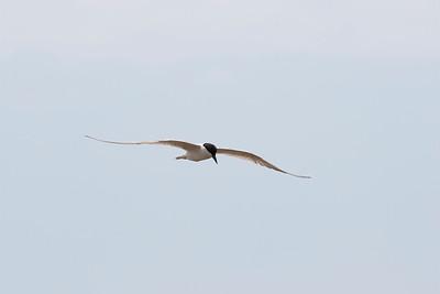 Sandtärna  – Gull-billed Tern