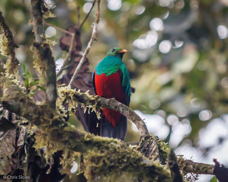 Golden-headed Quetzal male at Refugio Paz de las Aves, Ecuador (03-06-2014) 029-17-Edit.jpg