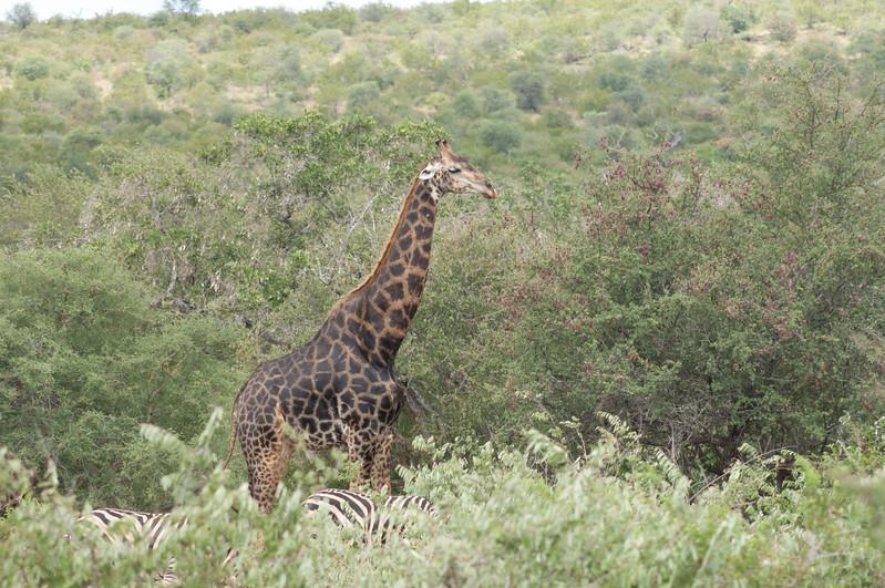 Giraf, zebra, Kruger National Park