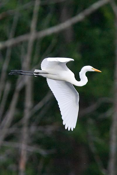 egrets-39-29.jpg