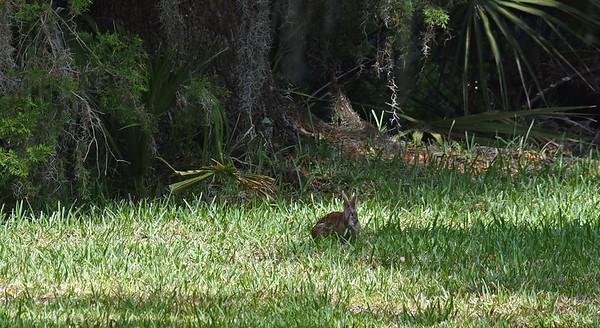 309RR Marsh Bunny 05-23-19