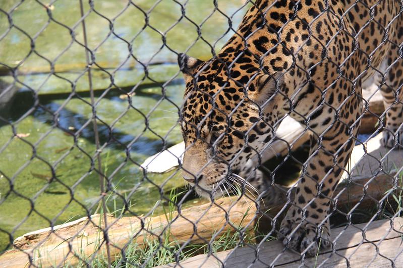 20170807-094 - San Diego Zoo - Leopard.JPG