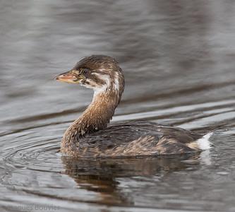 Birds of Extreme Eastern Ontario (EEO)-Les oiseaux de l'extrême Est ontarien (EEO)