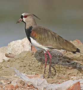 Southern Lapwing / Vanellus chilensis