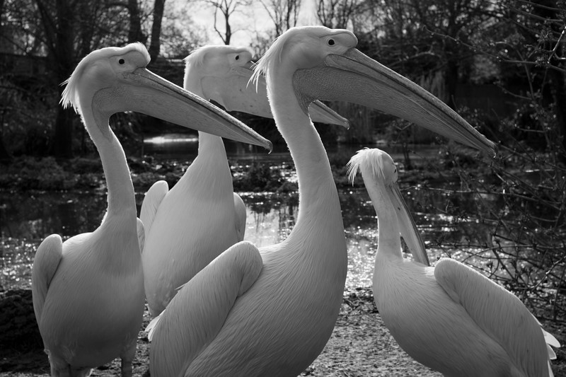 Pelicans, London Zoo