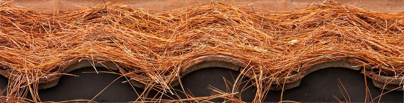 Pine Needles, Campbell, California, 2009