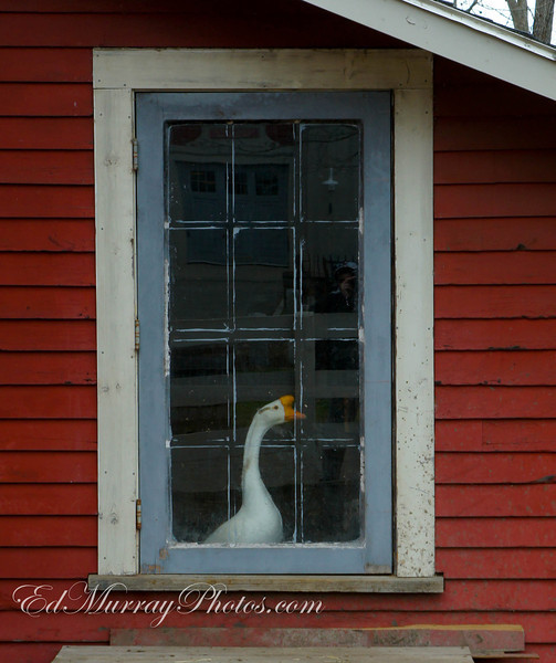 Goose in a Window: I took the kids to the park / farm and this goose was staring and honking at my through his barn window.