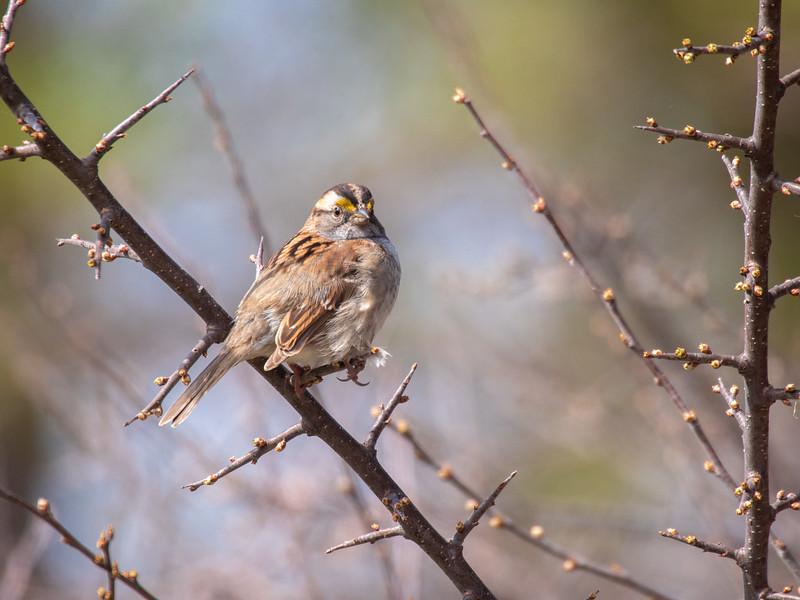 White-throated Sparrow Virtually Live 4 Sax-Zim Bog MN  P1055382.jpg