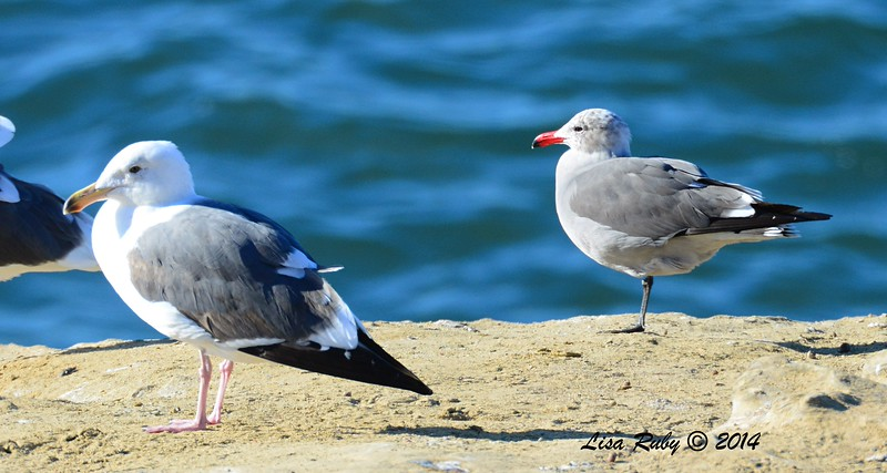 Western and Immature Heerman's Gulls - 12/29/2014 - Sunset Cliffs