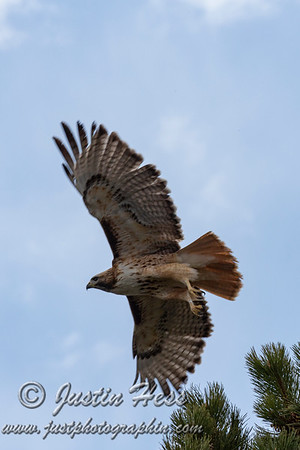 Red-tailed Hawk 04-22-2020