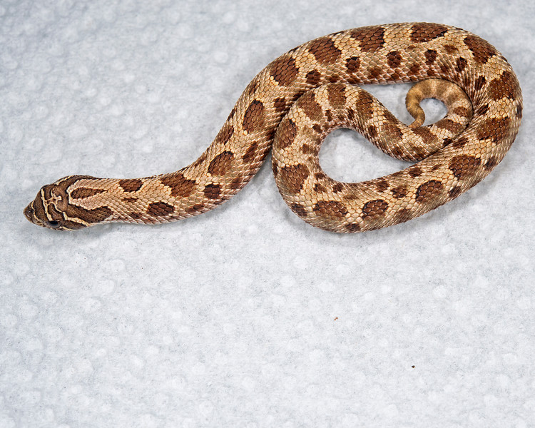 Anaconda Het Albino Hognose (HG06), Female, 12 grams, Sold, Jeremy S.