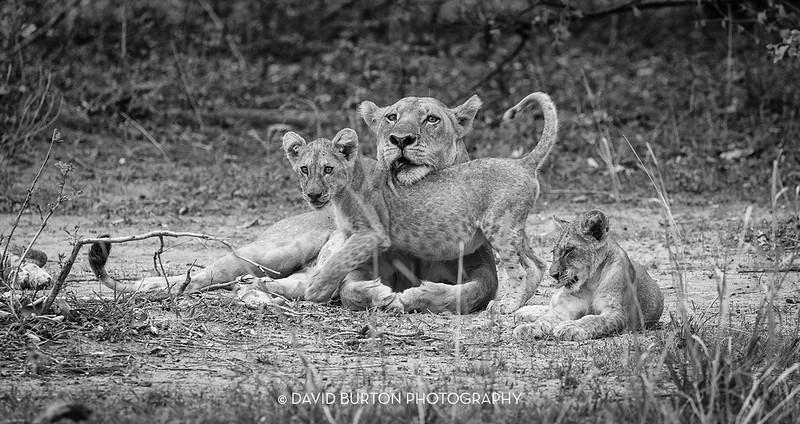 Bili_Lion-n-cubs_9134cc2fx-blknwht-web.jpg