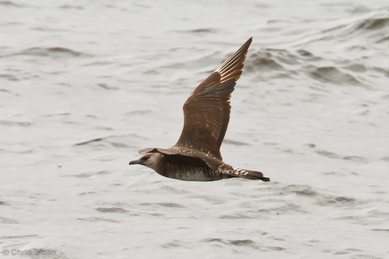 Pomarine Jaeger subadult at pelagic out of Bodega Bay, CA (10-15-2011) - 294.jpg