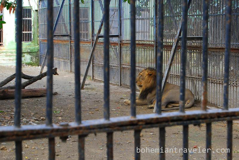Asiaic Lion at zoo.jpg