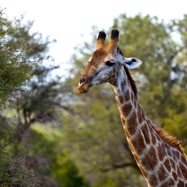 Kruger Giraffes