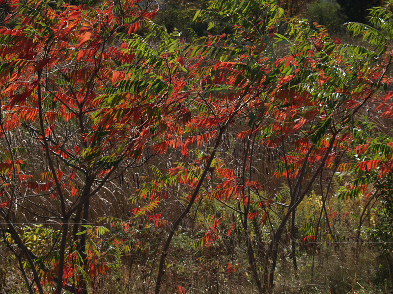 Staghorn Sumac, October, PA