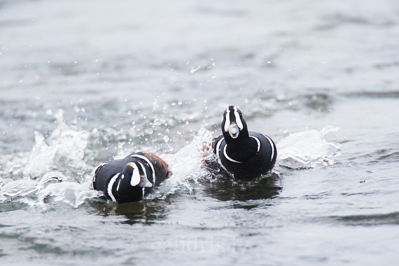 Male Harlequin Ducks race in water