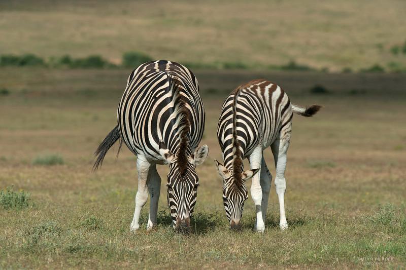 Plains Zebra & foal 2, Addo Elephant Park, EC, SA, Dec 2013 copy.jpg