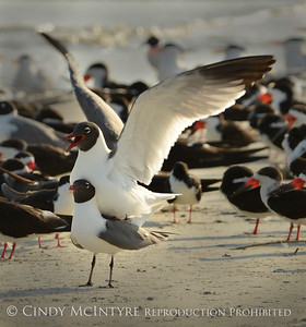 Laughing Gulls Courtship