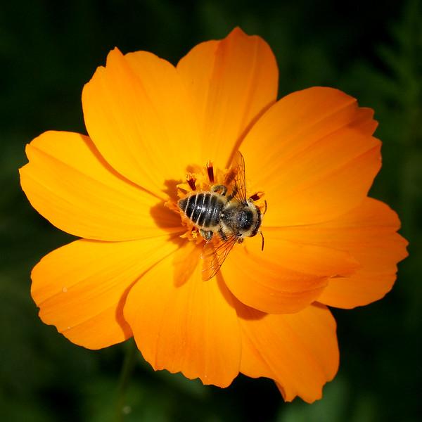 2341 Bee on Cosmo.jpg