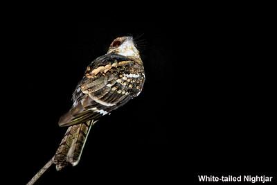 White-tailed Nightjar, Trinidad & Tobago