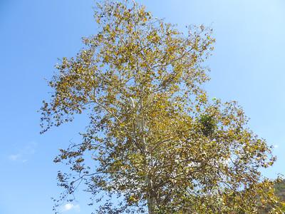 Western Sycamore (Platanus racemosa)