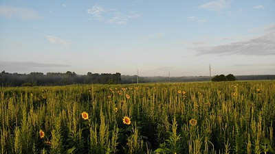 Sunflowers at the Perry Dove Field 7/16/2021