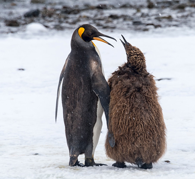 Penguins_King_Fortuna_South Georgia-12.jpg