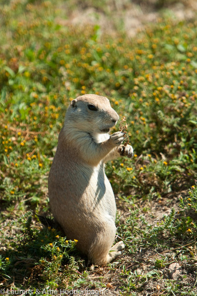 Prairie Dog in Theodore Roosevelt Nat'l Park, ND  Filename: CEM009258-TRNP-ND-USA.jpg