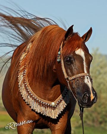 Ambassador Arabians