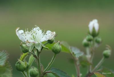 Blackberry Blooms