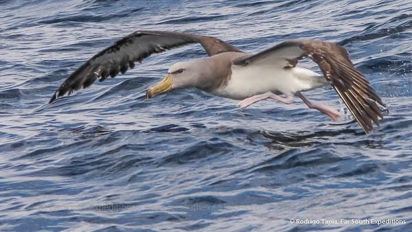Chatham Albatross, Albatros de las Chatham  (Thalassarche eremita)