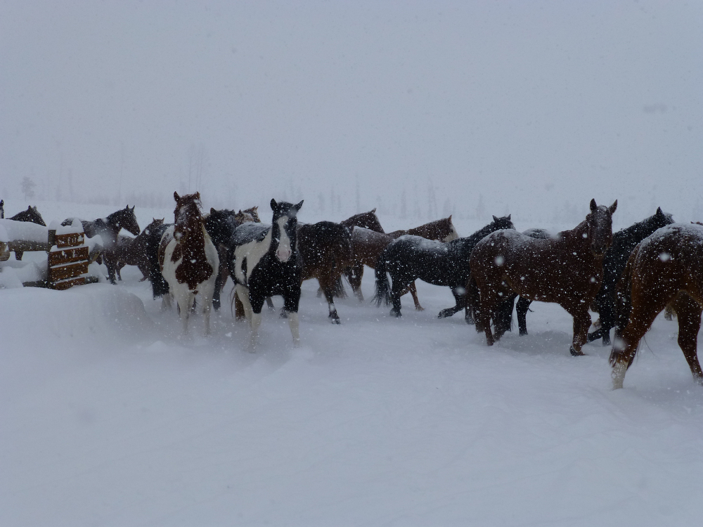 . The horses come from the pasture to the barn, a twice-a-day ritual that never gets old, especially in the snow.  (Photo by Bryce Halls)