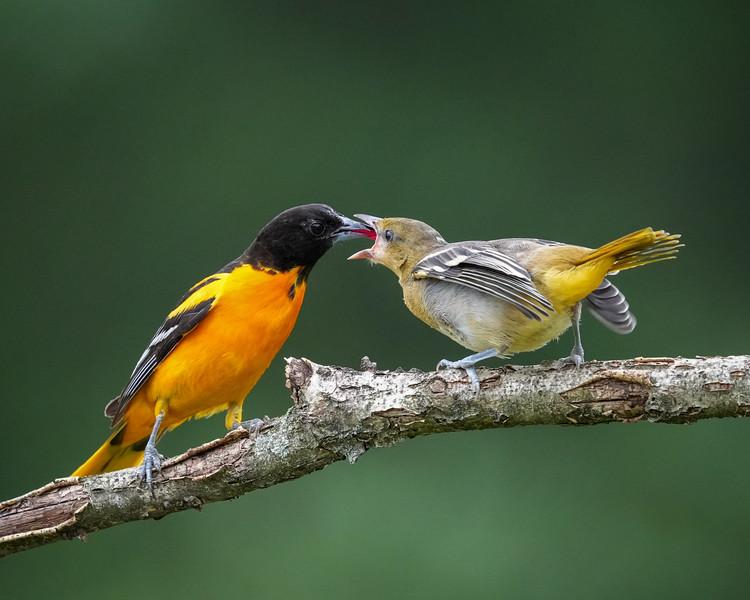 Baltimore oriole Dad feeding his kid/fledgling