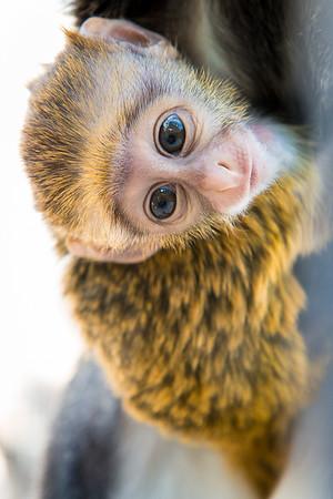 Baby De Brazza's Guenon Born at Houston Zoo