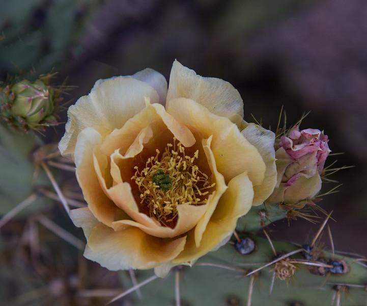 Sabino Flowers 4-25-2017f.jpg