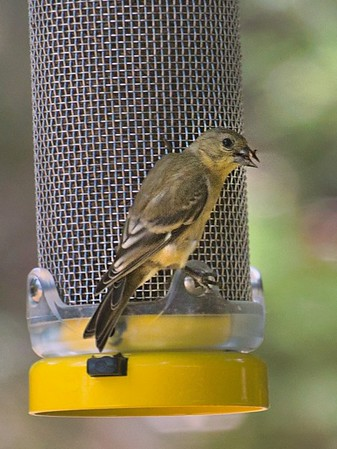 Lesser Gold Finches Found The Thistle Feeder.