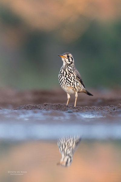 Groundscraper Thrush, Zimanga, KZN, South Africa, May 2017-2.jpg