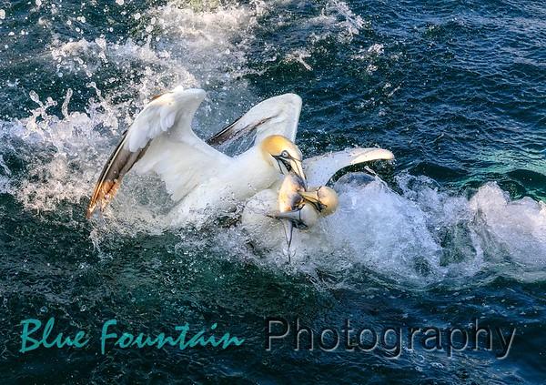 Gannet Diving Trip