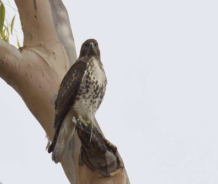 Red-tailed Hawk   - 12/10/2017 - La Jolla Cove