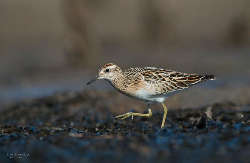 Sharp-tailed Sandpiper, Shoalhaven Heads, Oct 2012-2.jpg