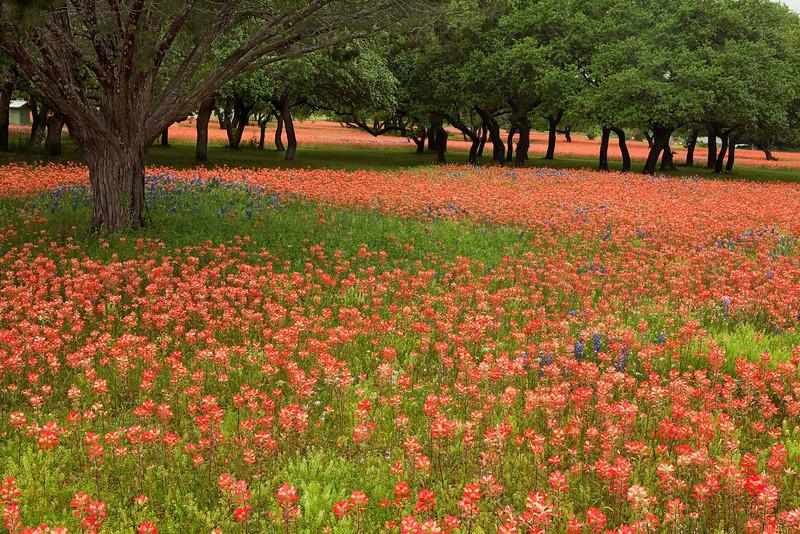 Texas wildflowers 386