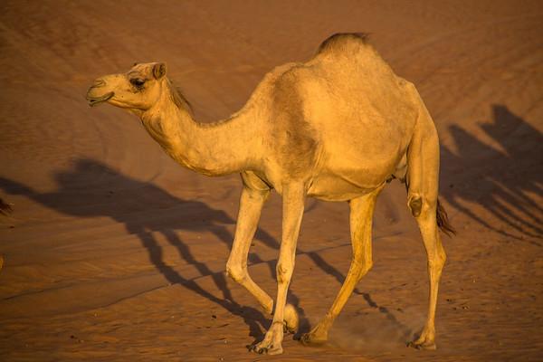 Camels in Beautiful Desert, Dubai - January, 2016