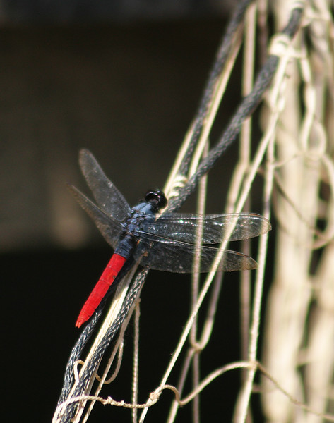 Tropical King Skimmer Dragonfly (Orthemis biolleyi)