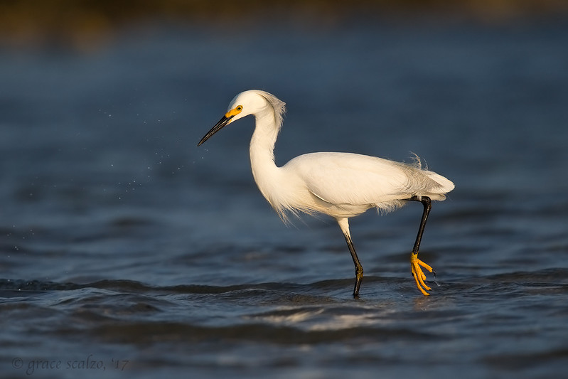 Snowy Egret on the Hunt