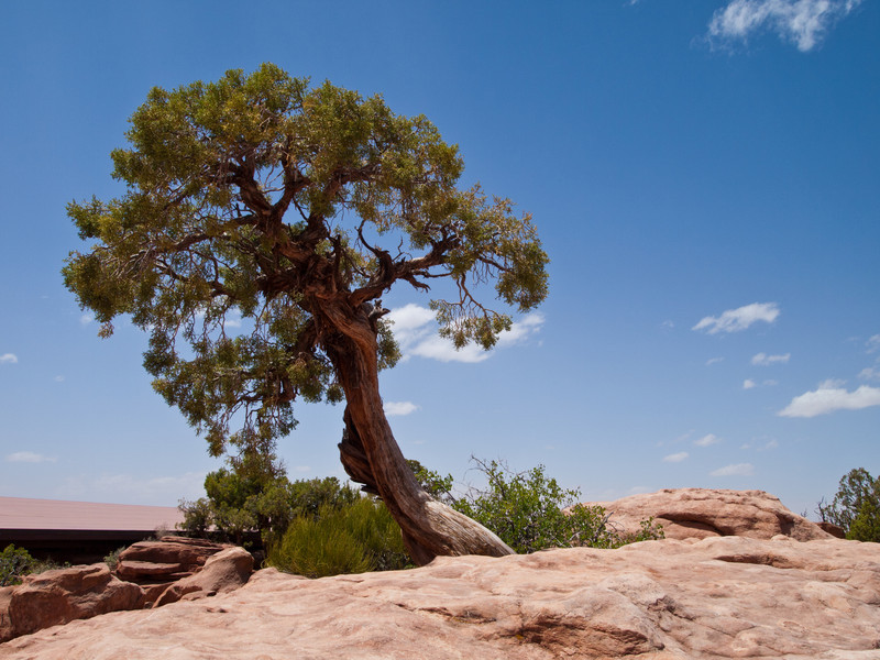 A lone cedar tree on top of Dead Horse Point.